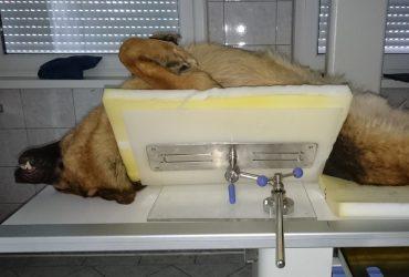 Rendgensko snimanje kukova i laktova uzgojnih pasa